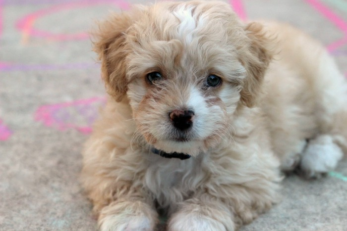 Adorable Maltipoo puppy - I want one!