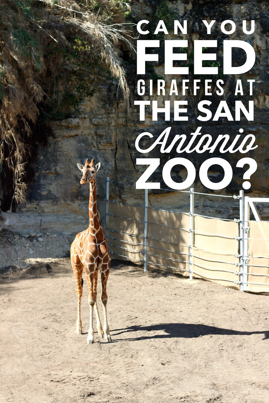 Can you feed giraffes at the San Antonio Zoo? yes! Starting March 2016 you can now hand feed 3 male giraffes from the walk-up feeding station - Read post for more info!