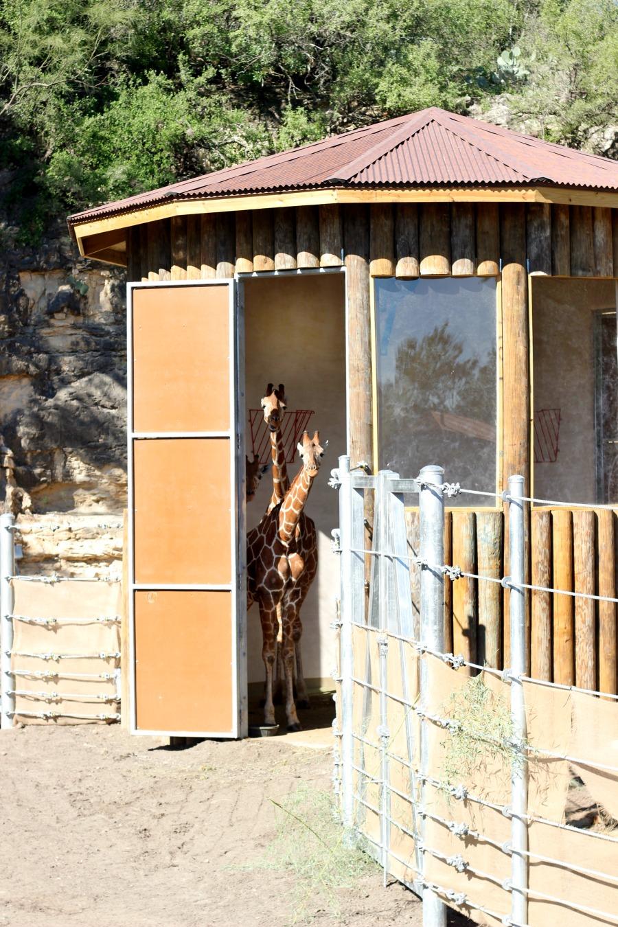 giraffes-are-back-san-antonio-zoo-tall-x