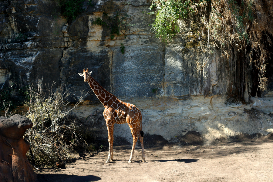 Must do in San Antonio: Check out the Savanna exhibit and feed the giraffes!